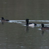 Tufted Duck, Aythya fuligula 3702
