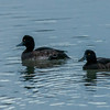 Tufted Duck, Aythya fuligula 3741