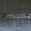 Tufted Duck, Aythya fuligula 3697