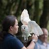 Barn Owl, Tyto alba 1895