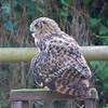 European Eagle Owl, Bubo bubo 2011