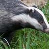 Badger, Meles meles 1035