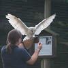 Barn Owl, Tyto alba 1856