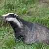 Badger, Meles meles 2346