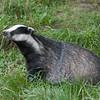 Badger, Meles meles 2347