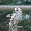 Barn Owl, Tyto alba 1936