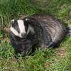 Badger, Meles meles 2359