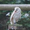Barn Owl, Tyto alba 1939