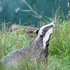 Badger, Meles meles 0955