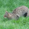 Scottish Wildcat, Felis silvestris grampia 0251