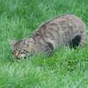 Scottish Wildcat, Felis silvestris grampia 0256