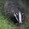 Badger, Meles meles 2376