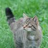 Scottish Wildcat, Felis silvestris grampia 0268