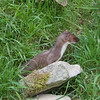 Stoat, Mustela erminea 2472