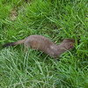 Stoat, Mustela erminea 2482