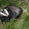 Badger, Meles meles 2356