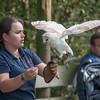Barn Owl, Tyto alba 1919
