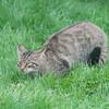 Scottish Wildcat, Felis silvestris grampia 0248