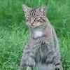Scottish Wildcat, Felis silvestris grampia 0228