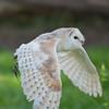 Barn Owl, Tyto alba 1924