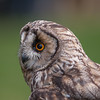 Long-eared Owl, Asio otus 1820