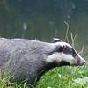 Badger, Meles meles 1038