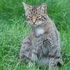 Scottish Wildcat, Felis silvestris grampia 0225