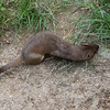 Stoat, Mustela erminea 2507