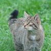 Scottish Wildcat, Felis silvestris grampia 0267