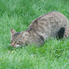 Scottish Wildcat, Felis silvestris grampia 0247