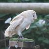 Barn Owl, Tyto alba 1935