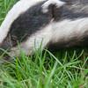 Badger, Meles meles 0774