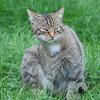 Scottish Wildcat, Felis silvestris grampia 0224