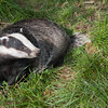 Badger, Meles meles 2357