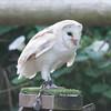Barn Owl, Tyto alba 1934