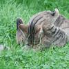 Scottish Wildcat, Felis silvestris grampia 0230
