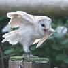 Barn Owl, Tyto alba 1932
