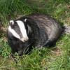 Badger, Meles meles 2360