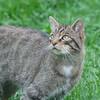 Scottish Wildcat, Felis silvestris grampia 0266