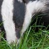 Badger, Meles meles 0778
