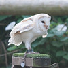 Barn Owl, Tyto alba 1933