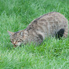 Scottish Wildcat, Felis silvestris grampia 0257