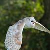 Barn Owl, Tyto alba 1902