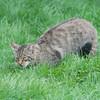 Scottish Wildcat, Felis silvestris grampia 0258