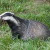 Badger, Meles meles 2350
