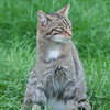 Scottish Wildcat, Felis silvestris grampia 0229