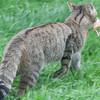 Scottish Wildcat, Felis silvestris grampia 0274
