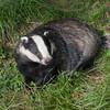 Badger, Meles meles 2355
