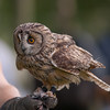 Long-eared Owl, Asio otus 1816