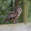 Long-eared Owl, Asio otus 1768
